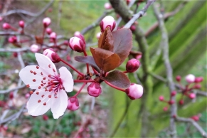 Erste geöffnete Blüten der Blutpflaumen.