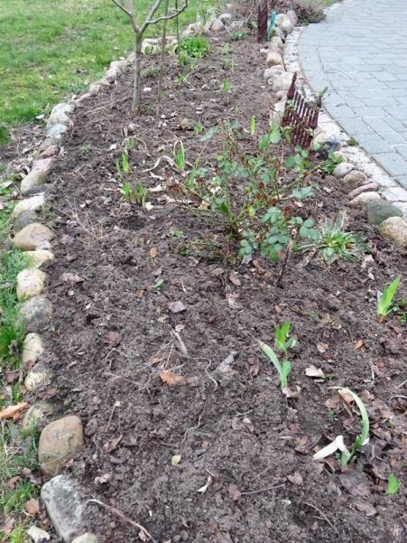 Das erste Buddeln im Garten, die Spitzen von Bartiris (Iris barbata) und Rosen vom Kraut befreit.