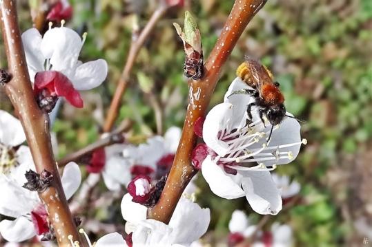 2019-03-22 LüchowSss Garten nachmittags Rotpelzige Sandbiene (Andrena fulva) an Aprikosenblüten (Prunus armeniaca) (1)