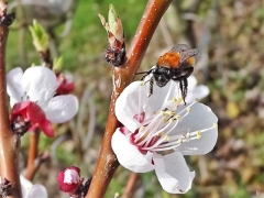 2019-03-22 LüchowSss Garten nachmittags Rotpelzige Sandbiene (Andrena fulva) an Aprikosenblüten (Prunus armeniaca) (3)