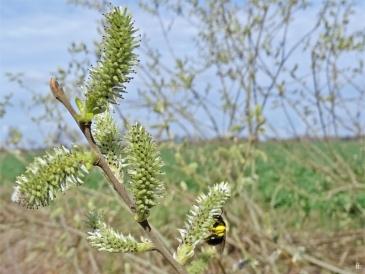 2019-03-24 bei Lüchow morgens unterwegs Grauweidenkätzchen + Dunkle Weidensandbiene (Andrena apicata) (1)