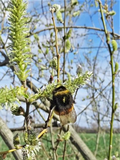 2019-03-24 bei Lüchow morgens unterwegs Grauweidenkätzchen (Salix cinerea) + Dunkle Erdhummel (Bombus terrestris) (2)