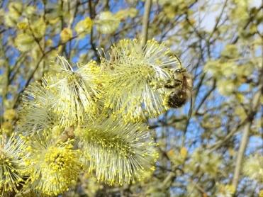 2019-03-24 bei Lüchow morgens unterwegs Grauweidenkätzchen (Salix cinerea) + Pelzbiene (Anthophora plumipes) (1)