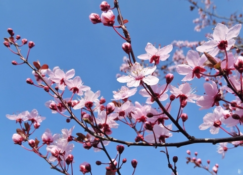 Blutpflaumenblüten (Prunus cerasifera) Sorte 'Nigra'