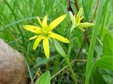 Gelbstern, vermutlich Acker-Gelbstern (Gagea villosa)
