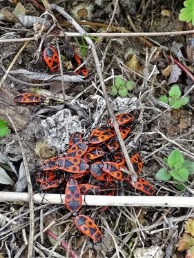 2019-03-29 LüchowSss Garten Gemeine Feuerwanze (Pyrrhocoris apterus) (1) mit einigen Samen vom Garten-Hibiskus (Hibiscus syriacus)