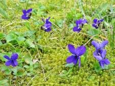 März- bzw. Duftveilchen (Viola odorata) + Sparriger Runzelpeter (Rhytidiadelphus squarrosus)