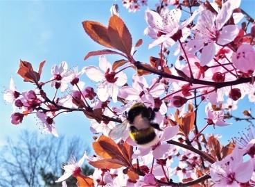 2019-03-30 LüchowSss Garten Blutpflaumenblüten (Prunus cerasifera) + Dunkle Erdhummel (Bombus terrestris)