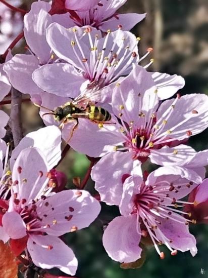 2019-03-30 LüchowSss Garten Blutpflaumenblüten (Prunus cerasifera) + Gemeine Wespenbiene (Nomada fucata)