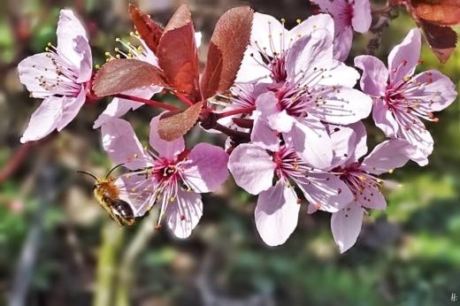 2019-03-30 LüchowSss Garten Blutpflaumenblüten (Prunus cerasifera) + Rotendige Sandbiene (Andrena haemorrhoa) (1)