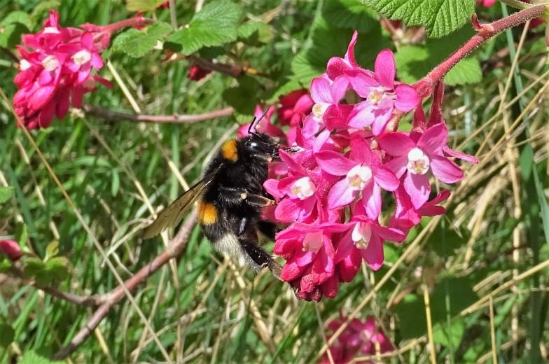 2019-03-31 LüchowSss Garten Blutjohannisbeere (Ribes sanguineum) + Dunkle Erdhummel (Bombus terrestris) (2)