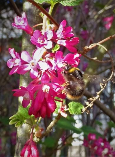 2019-03-31 LüchowSss Garten Blutjohannisbeere (Ribes sanguineum) + Wiesenhummel (Bombus pratorum) (3)