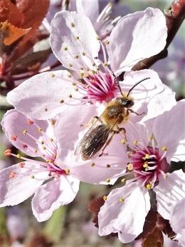 2019-03-31 LüchowSss Garten Blutpflaumen + Rotendige bzw. Rotschopfige Sandbiene (1)