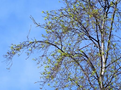 erstes Birkengrün (Betula pendula)