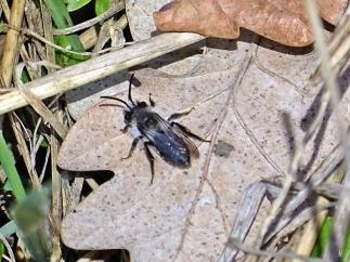 Grauschwarze Düstersandbiene bzw. Graue Sandbiene (Andrena cineraria)