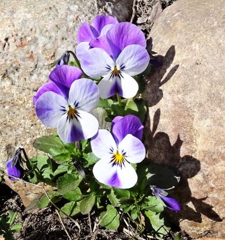 Hornveilchen (Viola cornuta), nächste Generation