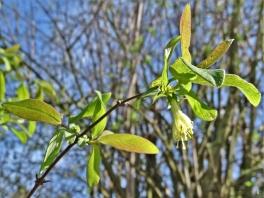 Maibeere bzw. Kamtschatka-Heckenkirsche (Lonicera caerulea var. kamtschatica)