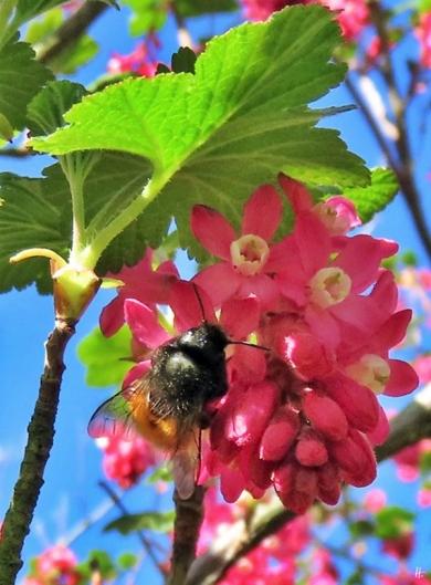 2019-04-01 LüchowSss Garten Blut-Johannisbeere (Ribes sanguineum) + Gehörnte Mauerbiene (Osmia cornuta) (1)
