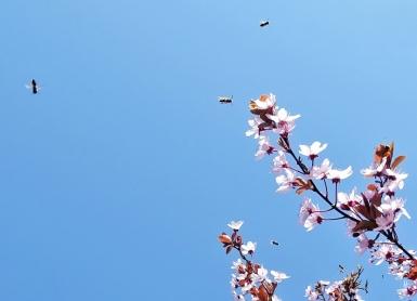 2019-04-02 LüchowSss Garten Blutpflaume + Wildbienen (3)