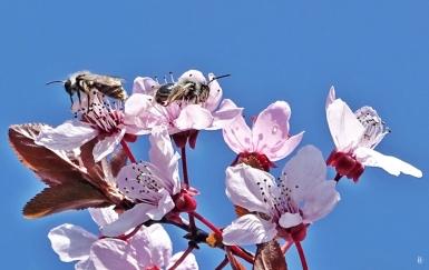 2019-04-02 LüchowSss Garten Blutpflaume + Wildbienen (4) Grauschwarze Düstersandbienen (Andrena cineraria)