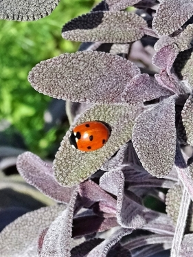 2019-04-02 LüchowSss Garten Siebenpunkt (Coccinella septempunctata) + Purpur-Salbei (Salvia officinalis 'Purpurascens') (1)
