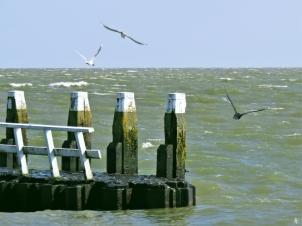 2019-04-09 NL Abschlussdeich des IJsselmeeres (9) Kormoran + Lachmöwen auf der Innenseite