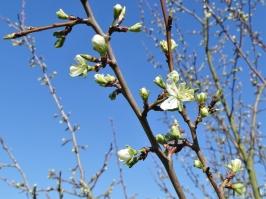 2019-04-15 LüchowSss Garten 10-11 Uhr (23) Zwetschgen-Blüten