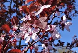 2019-04-15 LüchowSss Garten 10-11 Uhr (6) Blutpflaumenblüten