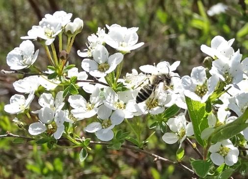 2019-04-15 LüchowSss Garten 14-15 Uhr (22) Brautspiere + Wildbiene