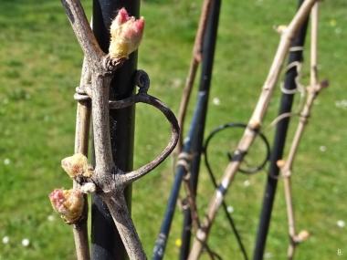 2019-04-15 LüchowSss Garten 14-15 Uhr (64) Weinrebe Gelber Muskateller Knospen