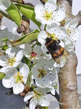 2019-04-15 LüchowSss Garten 14-15 Uhr (78) Dunkle Erdhummel an Birnenblüten