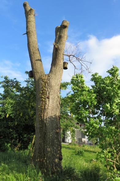 2019-05-10 LüchowSss Garten Rundgang Abend (18) Eiche mit Mauerkatze
