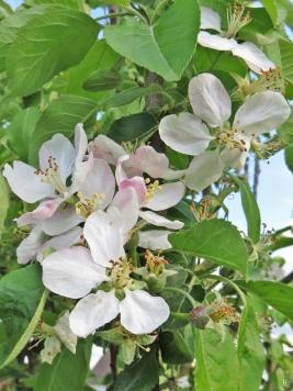 2019-05-10 LüchowSss Garten Rundgang Abend (45) Apfelblüten + Fruchtansätze