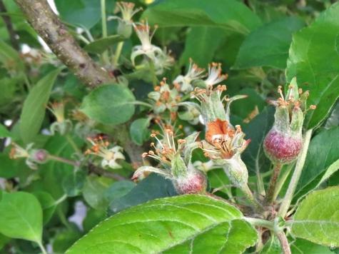 2019-05-10 LüchowSss Garten Rundgang Abend (46) Apfelblüten-Fruchtansätze (Malus domestica)