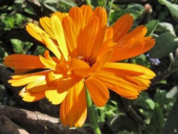2019-05-10 LüchowSss Garten Rundgang Abend (57) Ringelblume + Salbei + Blattläuse