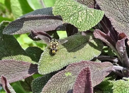 Schwebfliege bei der Blattlausjagd auf dem Purpursalbei
