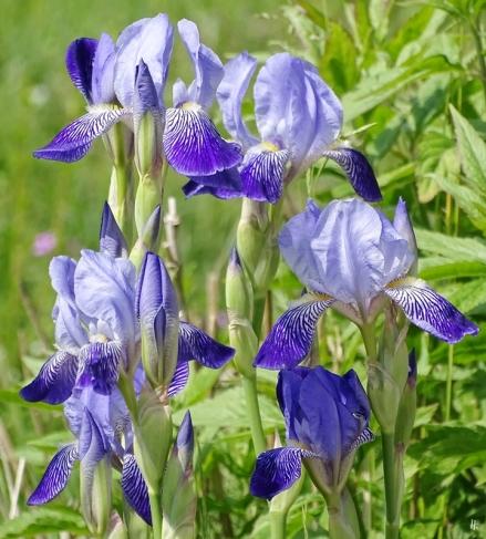 die ersten Bartiris-Blüten in diesem Jahr
