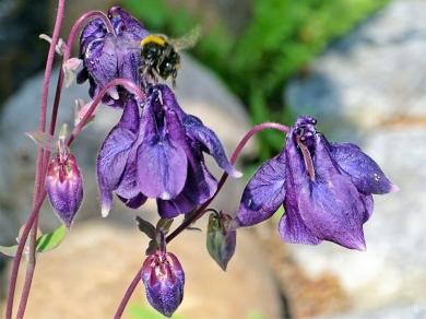 2019-05-18 LüchowSss Garten kleine rundliche violette Akelei (Aquilegia vulgaris) (7)