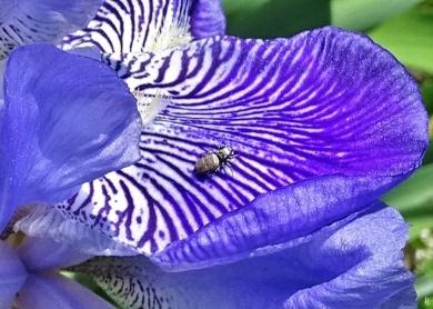 2019-05-18 LüchowSss Garten violette Bartiris (Iris barbata) + Sonnenspringspinne (Heliophanus spec.) (9)