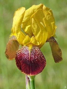 2019-05-19 LüchowSss Garten Heidruns Bartiris (Iris barbata) - 1. Blüte (2)