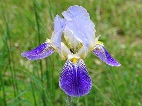 2019-05-21 LüchowSss Garten Bartiris (Iris barbata) Heidruns Violette (1)