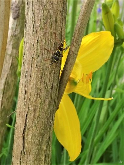2019-05-21 LüchowSss Garten erste Gelbe Taglilienblüte (Hemerocallis lilioasphodelus) mit Gemeinem Widderbock oder Wespenbock (Clytus arietis) nebenan auf Schmetterlingsflieder (Buddleija)