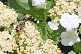 2019-05-21 LüchowSss Garten Gewöhnlicher Schneeball (Viburnum opulus) + Wildbiene
