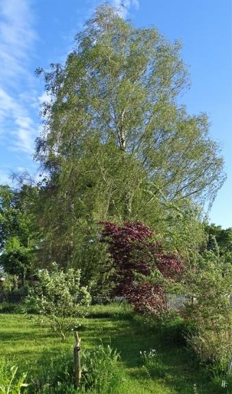 2019-05-22 LüchowSss Garten Blutpflaume (Prunus cerasifera) (1)