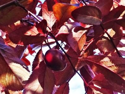 2019-05-22 LüchowSss Garten Blutpflaume (Prunus cerasifera) (8) mit Frucht