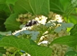 2019-05-23 LüchowSss Garten Gewöhnlicher Schneeball (Viburnum opulus) + Graue Sandbiene bzw. Grauschwarze Düstersandbiene (Andrena cineraria)