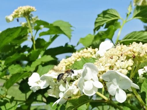 2019-05-23 LüchowSss Garten Gewöhnlicher Schneeball (Viburnum opulus) + Rotendige Sandbiene (Andrena haemorrhoa) (7)