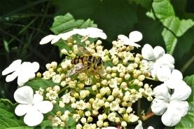 2019-05-23 LüchowSss Garten Gewöhnlicher Schneeball (Viburnum opulus) + Totenkopf-Schwebfliege ( Myathropa florea)