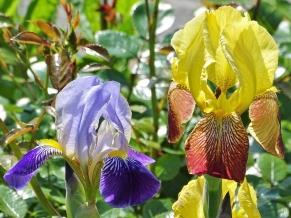 2019-05-24 LüchowSss Garten Heidruns Bartiris Gelb-Rot + Kunitzen Moder sien Violette