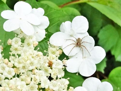 2019-05-26 LüchowSss Garten Gewöhnlicher Schneeball (Viburnum opulus) + Spinne + kleines Insekt (1)